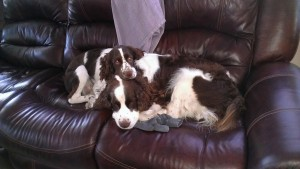 Two liver and white Springer Spaniels curled up on a brown leather sofa.