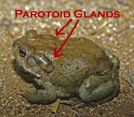 Scan-1848-Parotoid-Glands